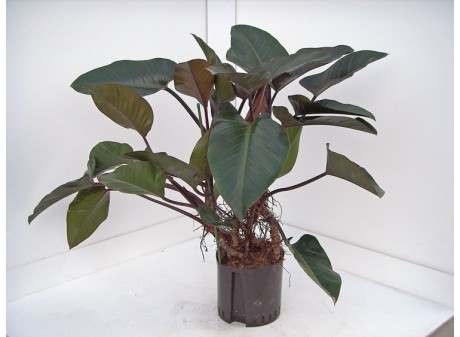 Philodendron imperial red trunk multi H 120, 32/28